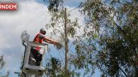 Okaliptus Ağaçlarında Budama İşlemi Tamamlandı