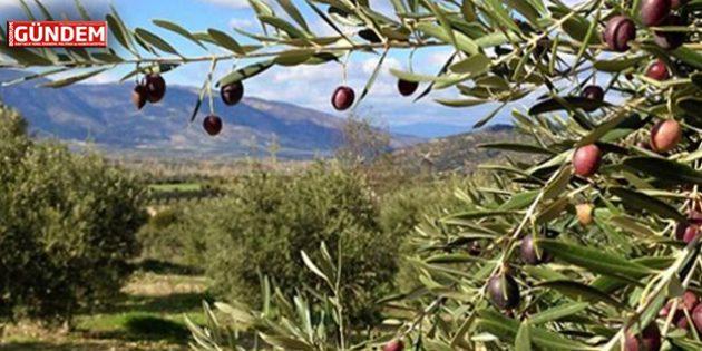 Zeytinlikler 6 Yıl Süreliğine Kiraya Verilecek